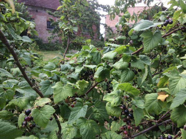 Beerensträucher Dreesch7